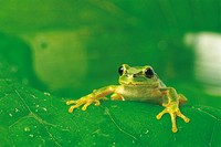 Green frog on leaf, close up