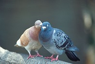 Pigeons touching each other, perching on branch, close up, differential focus