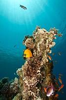 coral and fish around Shaab Mahmud