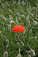 A single poppy flower in the middle of a sea of buds