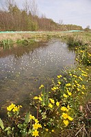 Marsh marigolds flowering by the side of a pool with pond water Crowfoot flowers flower wildflower plant plants Ranunculus peltatus Caltha palustris