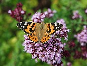Painted Lady Vanessa cardui Butterfly on a Marjoram Origanum majorana, Lamiaceae cold-sensitive perennial herb flower