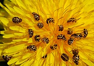 Ladybirds and dandelion