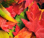 Willmar, Minnesota, United States Of America, Red, Yellow And Green Leaves Laying On The Ground In Autumn