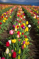 woodburn, oregon, united states of america, a variety of tulips in a field