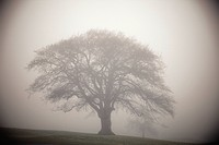 silhouette of a tree in the fog