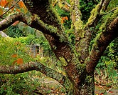 Lichen Covered Apple Tree, Walled Garden, Ilnacullin, Co Cork, Ireland