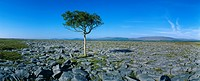 Tree On A Landscape, The Burren, County Clare, Republic Of Ireland