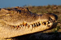 Nile Crocodile Crocodylus Niloticus  On land  Portrait  June 2009, winter  Balule Private Nature Reserve, York section  Greater Kruger National Park, ...