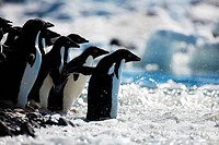 Adelie penguins Pygoscelis adeliae entering the sea, Paulet Island, Antarctic Peninsula, Antarctica