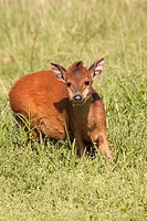 Red Forest Duiker Cephalophus Natalensis  Also named Natal Duiker  June 2009  Winter  Umlalazi Nature Reserve, Kwazulu-Natal, South Africa