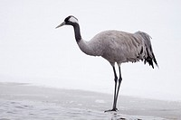 Common Crane on ice  Spring 2010  Kuusamo area, Finland