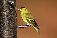 Male Siskin Carduelis spinus at Feeder Ringwood Hampshire