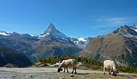 Schafe vorm Matterhorn 3
