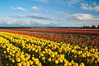 Tulips at Woodburn, Oregon