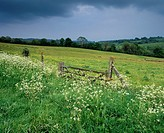 Cow parsley growing on the grass verge in front of a meadow of buttercups under spring rain clouds in Dartmoor National Park at Moretonhampstead, Devo...