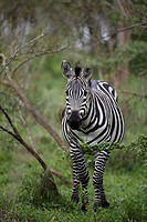 Common zebra, Equus quagga boehmi, Lake Mburo National Park, Uganda, East Africa, Africa