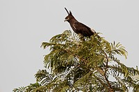 Long_crested Eagle, Lophaetus occipitalis, sitting on a tree, Gambia, West Africa, Africa