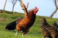 Chickens Gallus gallus domesticus on a meadow