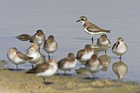 Ringed Plovers Charadrius hiaticula and Dunlins Calidris alpina on the waterfront