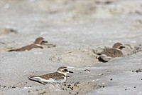 Kentish Plovers Charadrius alexandrinus sitting in the sand, elevated view