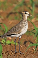 Sociable Plover Vanellus gregarius standing on a field, close_up