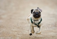 Pug puppy running