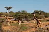 Loisaba Wilderness Conservancy, Laikipia, Kenya, East Africa, Africa