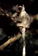 Verreaux´s Sifaka Propithecus verreauxi sitting on tree, Berenty Reserve, Southern Madagascar, Africa