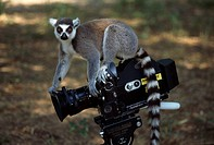 Ring_tailed Lemur Lemur catta on camera, Berenty, Southern Madagascar, Africa