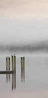 Gulls perched on jetty posts on a misty autumn morning, Derwent Water, Keswick, Lake District National Park, Cumbria, England, United Kingdom, Europe