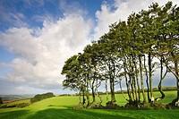 Exmoor beech hedge in a field near North Radworthy, Exmoor National Park, Devon, England, United Kingdom, Europe