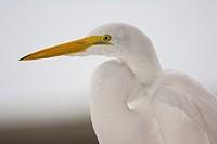 Great Egret , Pantanal, Mato Grosso, Brazil / Casmerodius alba - Ardeidae family – Ciconiiformes Order