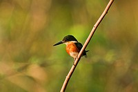 Pygmy Kingfisher , Pantanal, Mato Grosso, Brazil / Chloroceryle aenea - Alcedinidae family – Coraciiformes order