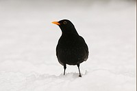 European Blackbird Turdus merula adult male, standing on snow covered ground, Oxfordshire, England, winter