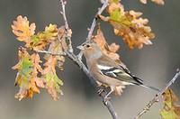 Chaffinch Fringilla coelebs adult male, perched on twig in oak tree, Norfolk, England, november