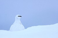 Rock Ptarmigan Lagopus mutus adult male, white winter plumage, standing in snow, Cairngorms N P , Highlands, Scotland, february