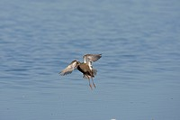 Spotted Redshank Tringa erythropus adult, in flight over water, Cley Marshes, Cley_next_the_sea, Nofolk, England
