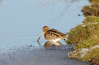 Common Snipe Gallinago gallinago adult, feeding in partly frozen dyke, Norfolk, England, january