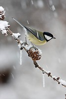 Great Tit Parus major adult, perched on larch twig with cones and icicles in snowfall, Leicestershire, England, january