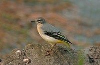 Grey Wagtail Montacilla cinerea juvenile, without tail, standing on rock, England