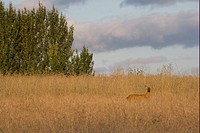 Roe Deer Capreolus capreolus buck, standing in fallow field, during rutting season, Oxfordshire, England