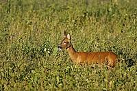Roe Deer Capreolus capreolus doe, feeding on leaves in set_a_side field, Scotland, summer