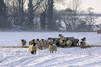 Domestic Sheep, flock, feeding on hay in snow covered field, Norfolk, England, december