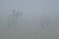 Grant´s Zebra Equus quagga boehmi three adults, standing in morning mist, Masai Mara Game Reserve, Kenya