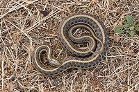 Pacific Coast Aquatic Garter Snake Thamnophis atratus atratus adult, Point Reyes, California, U S A