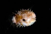 Long_spine Porcupinefish Diodon holocanthus juvenile, swimming, Lembeh Island, Sulawesi, Indonesia