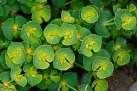 Sea Spurge Euphorbia paralias close_up of leaves, bracts and developing fruits, Kimmeridge Bay, Dorset, England, june