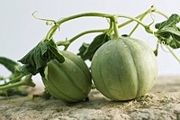 Melons on vine