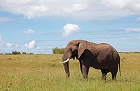 Small elephant in the plains